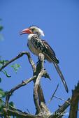 Red-billed Hornbill sitting on dead tree