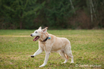 13 year old yellow American Yellow Labrador, Cedar, running with a wild-eyed look, in a park