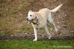 13 year old yellow American Yellow Labrador, Cedar, running in a park