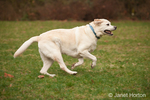 6 year old English Yellow Labrador, Murphy, running in the park