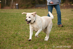 6 year old English Yellow Labrador, Murphy, running in the park after a ball just thrown by his owner, Chrissy