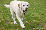 6 year old English Yellow Labrador, Murphy, walking in a park