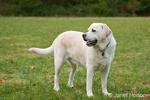 6 year old English Yellow Labrador, Murphy, standing