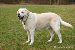6 year old English Yellow Labrador, Murphy, standing