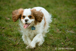 Two year old Cavalier King Charles Spaniel, Mandy, running in a grassy park