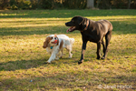 Two year old Cavalier King Charles Spaniel, Mandy, with ball and one year old Black Labrador, Chester, dogs walking together in friendship in a park