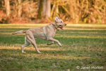 One year old American Yellow Labrador, Lily, running in a park