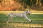"American Yellow Labrador ""Lily"" running in a park"