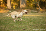 American Yellow Labrador, Lily, running in a park
