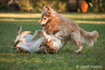 One year old American Yellow Labrador, Lily, pushed to the ground by a dominant five year old Golden Retriever, Lakota, in a park