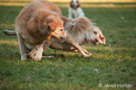 One year old American Yellow Labrador, Lily, pushed to the ground by a dominant five year old Golden Retriever dog in a park.  Onlooking in the background is a two year old Cavalier King Charles Spaniel, Mandy.