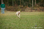 One year old American Yellow Labrador, Lily, chasing after ball thown by her owner, Mic, in a park
