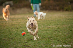 One year old American Yellow Labrador, Lily, chasing after ball thown by her owner, Mic, in a park.  In the background are a Golden Retriever and a Cavalier King Charles Spaniel.