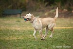 One year old American Yellow Labrador, Lily, running with ball in her mouth in a park