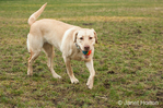 One year old American Yellow Labrador, Lily, walking with a ball in her mouth in a park