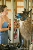 Woman (Marilyn) trying to control a llama (Irish Soul) who is standing in a schute