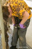 Woman (Barbara) trimming toes of a llama (Grey Guy) at a farm