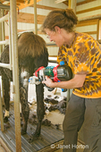 Woman (Barbara) using large water blaster to medicate llama's (Anuska Hemple) puncture and muscle wound at a farm