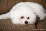 Pablo, a Bichon Frise, dog lying on the couch looking sad