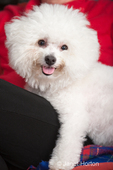 Pablo, a Bichon Frise, dog sitting on the couch with Rita, his owner
