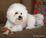 Pablo, a Bichon Frise, dog lying on the couch with a toy, licking his lips