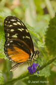 Golden Helicon or Hecales Longwing butterfly is found from Mexico to Peru.
