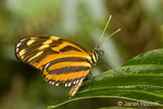 Large Tiger or Tiger Mimic or Tiger Mimic-Queen butterfly is found in Central America.