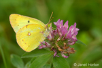 Orange Sulphur Butterfly (Colias eurytheme) on Red Clover (Trifolium pratense) wildflower taken in a backyard in a rural area
