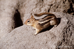 Golden-mantled Ground Squirrel watching out on the rocks.