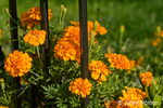 Marigolds beside wrought iron fence in a yard