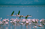 Flying Lesser flamingoes over a flock of Lesser Flamingoes feeding in a lake