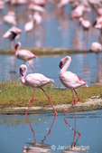 Two male Lesser Flamingos walking in a shallow lake