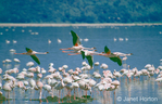 Flying Lesser Flamingoes, over a flock of Lesser Flamingoes eating in a lake