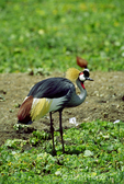 Grey-crowned Crane standing in a lettuce leaves part of a marsh