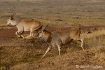 Male and female Eland leaping over ditch, with a hitchhiking Red-billed Oxpecker riding on the female's back