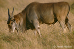 Male Eland with Red-billed Oxpecker hitchhiking on its belly,