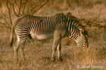 Grevy's Zebra eating with Red-biled Oxpeckers hitchhiking a ride on its back
