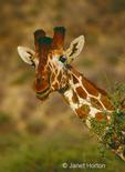 Close-up of a Reticulated Giraffe eating an acacia tree in Samburu National Reserve, Kenya