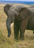 African elephant with tusks, with ears extended from body, in grasslands