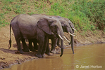Three adult African Elephants drinking from the river