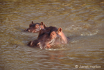 Mother and baby hippo swimming in a muddy river