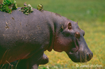 Mother and baby hippopotamus with Red-billed Oxpeckers and lettuce leaves on the mother's back, standing in a lettuce pond in a marsh