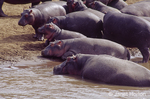 Hippopotamuses standing on the Mara river bank and in the river