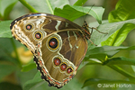 Common Blue Morpho or Blue Morpho butterfly is found from Mexico through northern South America.