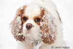 Mandy, a two year old Cavalier King Charles Spaniel, with snow-covered ears
