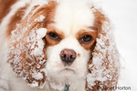 Mandy, a two year old Cavalier King Charles Spaniel, with snow-covered ears looking irritated and frowning