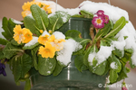 Garden Primrose in hanging flower pot, covered by snow