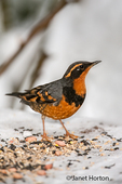 Male Varied Thrush on a snow-covered bench with birdseed on it