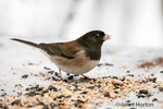 Male Dark-eyed Junco on a snow-covered bench covered with birdseed