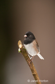 Male Dark-eyed Junco on a snow-covered newly-pruned bare branch